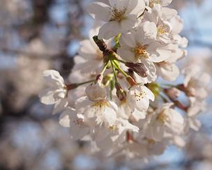 靖国神社の桜を開花から満開まで